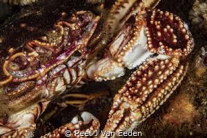 The cape Rock Crab is ever present at dive sites by Peet J Van Eeden