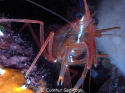 Lysmata seticaudata Cleaner shrimp by Cumhur Gedikoglu