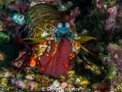 Mantis Shrimp with eggs by George Touliatos