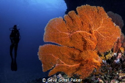 Maalhos Thila site full of soft corals at 20_24 meters by Sevil Gurel Peker