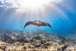 Giant Pacific Manta Ray gliding into the distance by Nick Polanszky