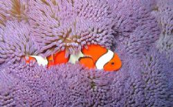 Clown Anemone Fish and an Invisible Shrimp. Taken in fron... by Michelle Tinsay