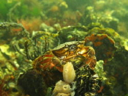 Common, carcinus maenas by Eduard Bello