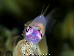 Goby Pink Eyes. Lembeh strait  Nikon D850 E , 105 macro... by Marchione Giacomo