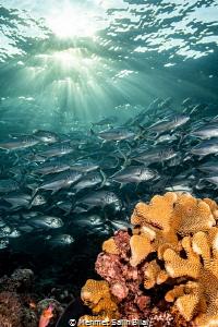 Jackfish shoal under sun rays Sipadan. Sipadan