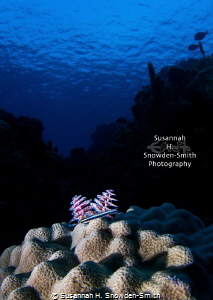 """Christmas Fishes To You"" - A sharpnose goby rests next t... by Susannah H. Snowden-Smith"