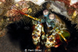 This was the first time I capture the Mantis shrimp on ca... by Hani Omar