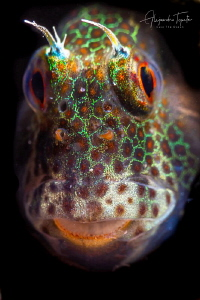 Blenny in Black, La Paz México by Alejandro Topete