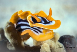 Nudibranchia of Red Sea ! by Claude Lespagne