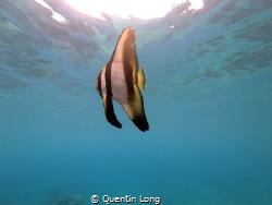 Batfish seen at Barrier Beach, Espiritu Santo, Vanuatu. T... by Quentin Long