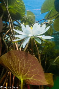 water lilies and lily pads by Beate Seiler