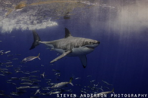 Just passing by!!!!! Great White Shark at Guadalupe Islan... by Steven Anderson