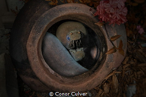 """The Viper Pot"" by Conor Culver"
