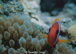 Clown Fish. Canon 550D, 60mm macro lens. No strobe. Aese ... by Quentin Long