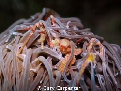 Leach's spider crab (inachus phalangium) - Picture taken ... by Gary Carpenter