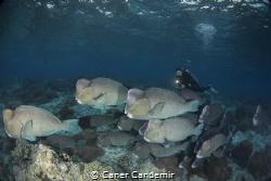 Bumphead Parrotfish Sipadan Island by Caner Candemir