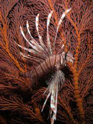 Lionfish Fandango. Taken under Pertamina Pier with an Oly... by Nick Hobgood
