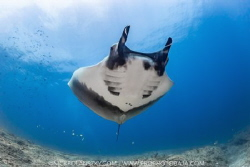 Giant Pacific Manta Ray circling the small rock island of... by Nick Polanszky