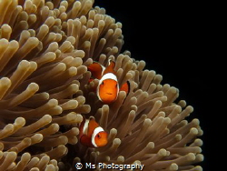 Everyone loves clownfish <3 I was able to spent nearly 10... by Ms Photography