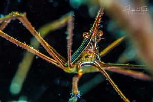 Arrow Crab close up, Veracruz México by Alejandro Topete
