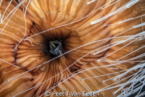 Striped anemone shooting out white sticky defensive threads by Peet J Van Eeden