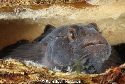 A black goby watching his eggs by Rune Edvin Haldorsen