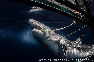 Chomping! After several attempts this Great White Shark g... by Steven Anderson