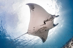 One of the many giant pacific Manta Rays gliding around L... by Nick Polanszky