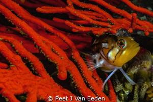 Colorful Klipvis in its red Palmate fan hideout by Peet J Van Eeden