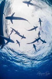 Sharks in Surface, Gardens of the Queen Cuba by Alejandro Topete