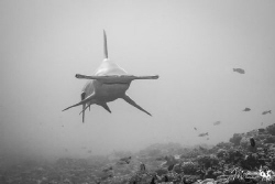 My first hammerhead, and he decide to  come very close, n... by Mathieu Macias