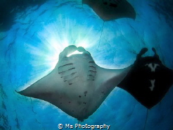 My love for Manta Rays is endless. Especially this day I'... by Ms Photography