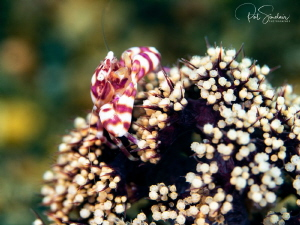 Crab surveying his domain by Patricia Sinclair
