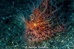 Hairy Frogfish by George Touliatos