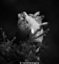 Aplysia parvula/seahare by Yustus Mananggung