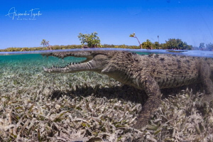Cocodrile and Blue Sky, Gardens of the Queen Cuba by Alejandro Topete