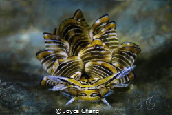 Portrait of Cyerce Nigra Nudibranch by Joyce Chang