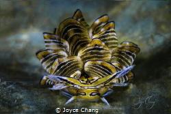 Portrait of Cyerce Nigra Nudibranch by Joyce Chang