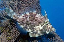 Triggerfish trying to hide beside a piece of net. Arinaga... by Arthur Telle Thiemann