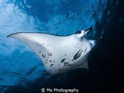 A lovely female Mobula alfredi coming close to check me o... by Ms Photography