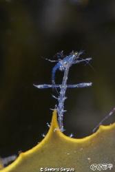 it's a shrimp eats shrimp out there... by Gaetano Gargiulo