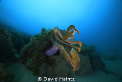 Giant Cuttle. Image taken at South Channel Forte, Melbour... by David Haintz