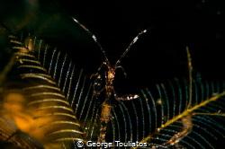 Skeleton Shrimp!!! by George Touliatos