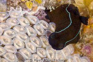 Counting someone else's eggs.  Black nudibranch inspecti... by Peet J Van Eeden
