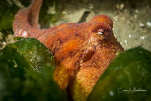 Eye of the Octopus. This is a Red Octopus I found at Rend... by Chris Mckenna