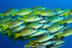 Blue-lined Snappers, Raja Ampat by Daniel Lamborn