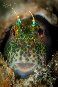 Blenny in Home, La Paz México by Alejandro Topete