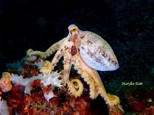 Ocellated Octopus by Marylin Batt