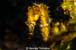 Shy Seahorse!!! by George Touliatos