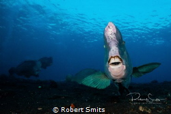 Did you know that the green humphead parrotfish (Bolbomet... by Robert Smits
